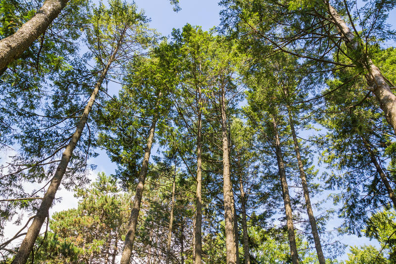 Low Angle View of Trees. A low angle view of trees in a forest stock photos