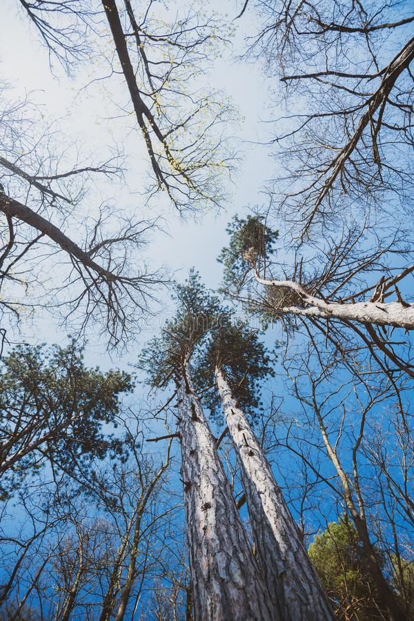 Low angle view of trees and pines in French Vosges royalty free stock photo