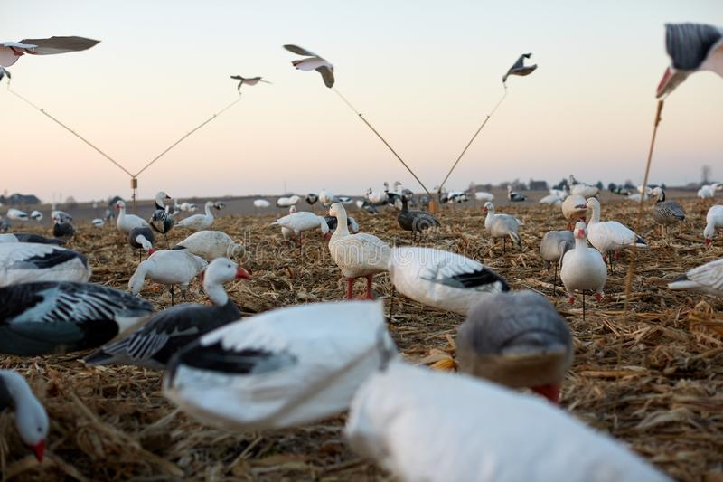 Low angle view of water fowl decoys. Deployed in the wilderness on grassy wetland terrain simulating a flock of ducks and geese with some in flight at the ends stock photography