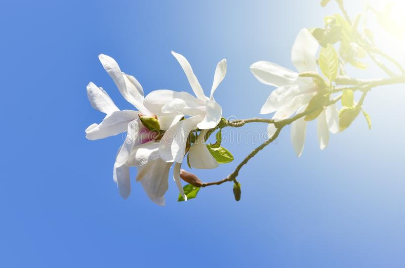Magnolia kobus   flower plant royalty free stock photos