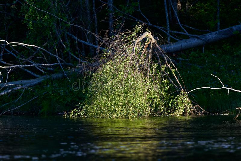 Low evening sun light illuminating leaves of a fallen Aspen tree by a river. Low evening sun light illuminating leaves of a fallen Aspen tree cut down by beaver stock images