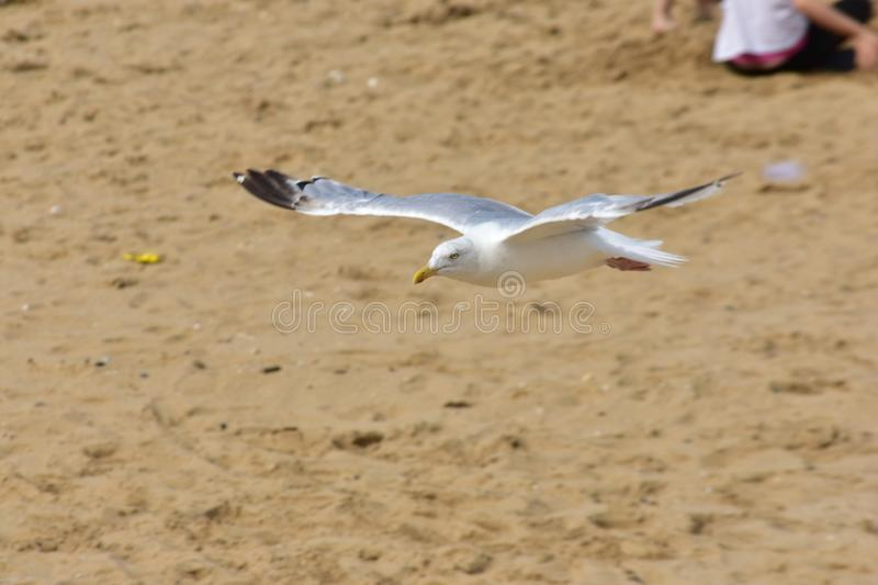 A low flying seagull on a beach royalty free stock photo