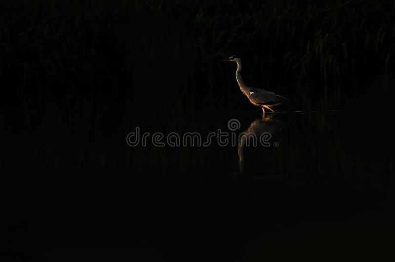 Stork on the lake. Low key image of stork on the lake in the morning stock images