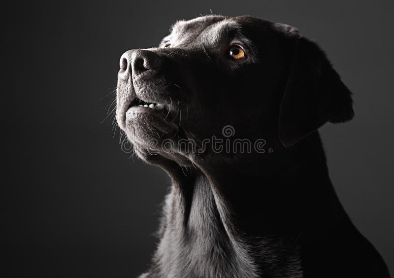 Download Low Key Labrador stock image. Image of chocolate, dogs - 25946407
