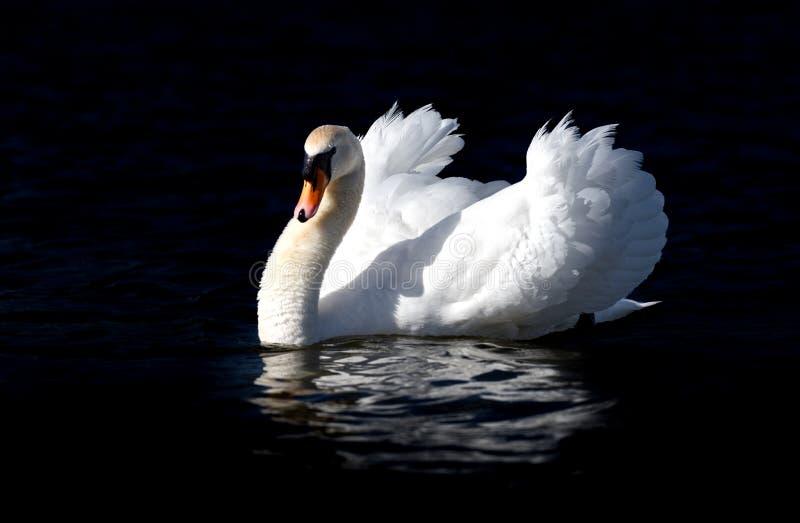 Low Key Portrait of Male Swan royalty free stock photos