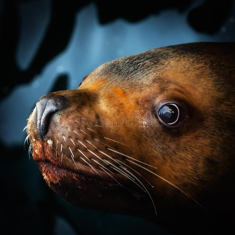 Low key portrait of Steller Sea Lion. Low key square portrait of cute Steller Sea Lion Eumetopias Jubatus floats in water and looking at camera. Eurasia, Russian stock photography