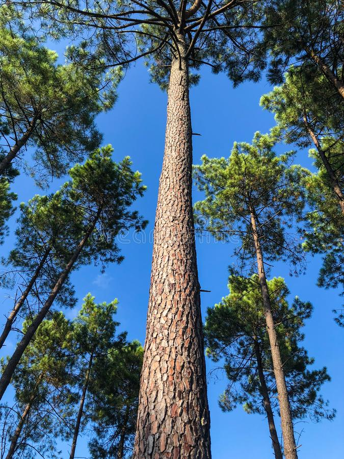 Low perspective looking up the trunk of a tall pine tree. On a bright summer day royalty free stock image