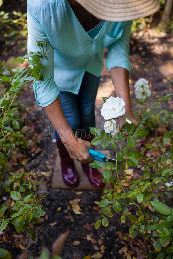 Low section of senior woman cutting flowers with pruning shears stock photo