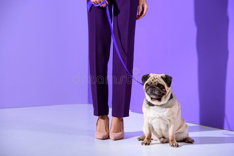 Low section view of girl posing with pug dog, ultra violet trend stock photo