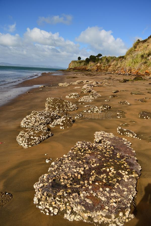 Monkey bay beach, South Head, New Zealand. Low tide beach with rock covered of shells, steep cliffs, lonelyness, remote place. New Zealand stock photo