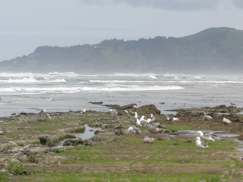 Low tide, tide pools, gulls royalty free stock photos