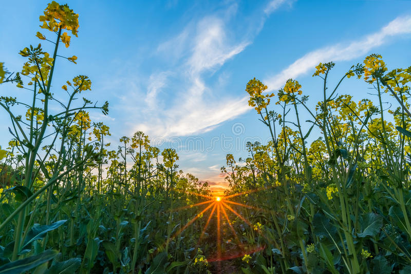 Low view from rapeseed field with yellow blooms on sunset royalty free stock image
