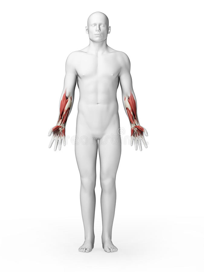 Lower arm muscles stock illustration. Illustration of male - 30721603