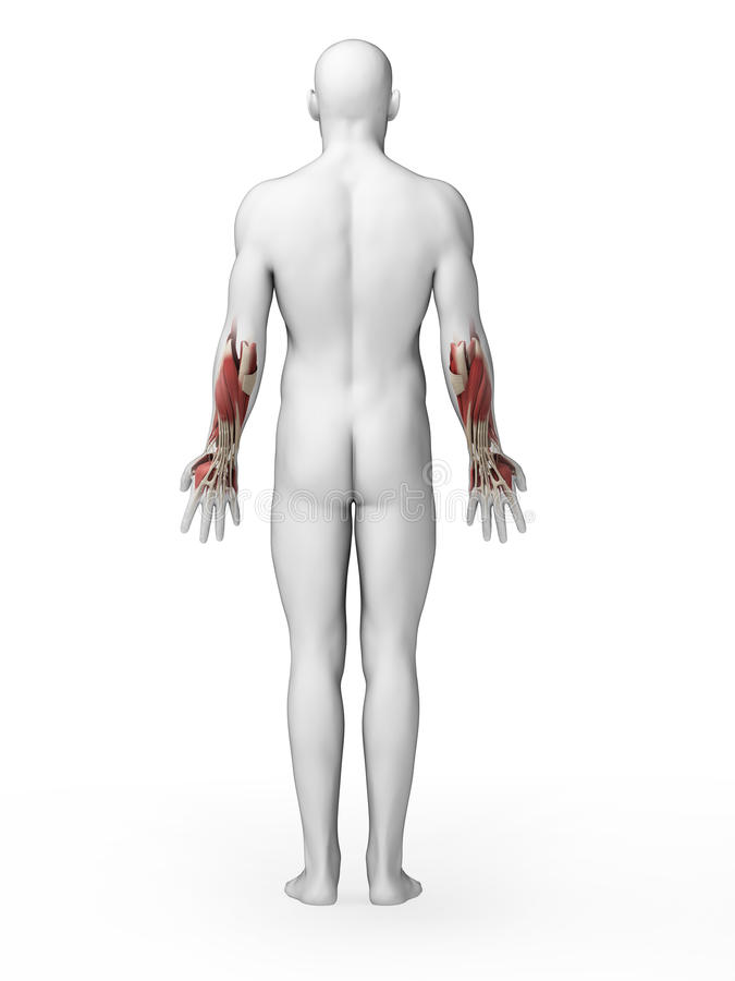 Lower arm muscles stock illustration