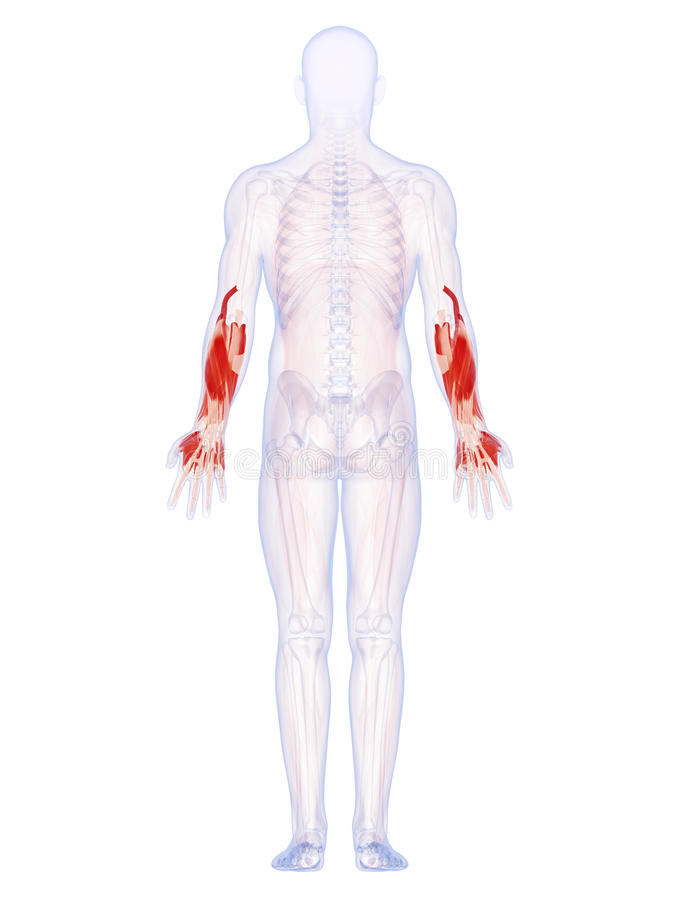 Download The lower arm muscles stock illustration. Image of rendering - 34165447