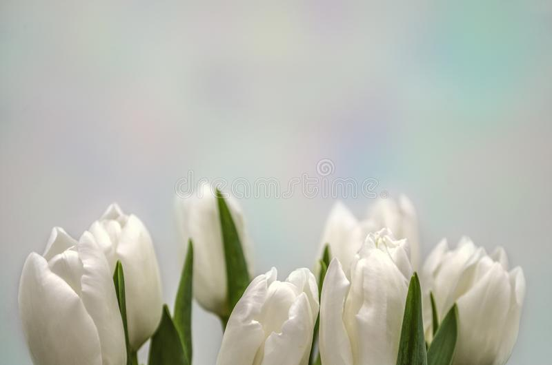 Lower border of the buds of white tulips on a gentle rainbow background royalty free illustration