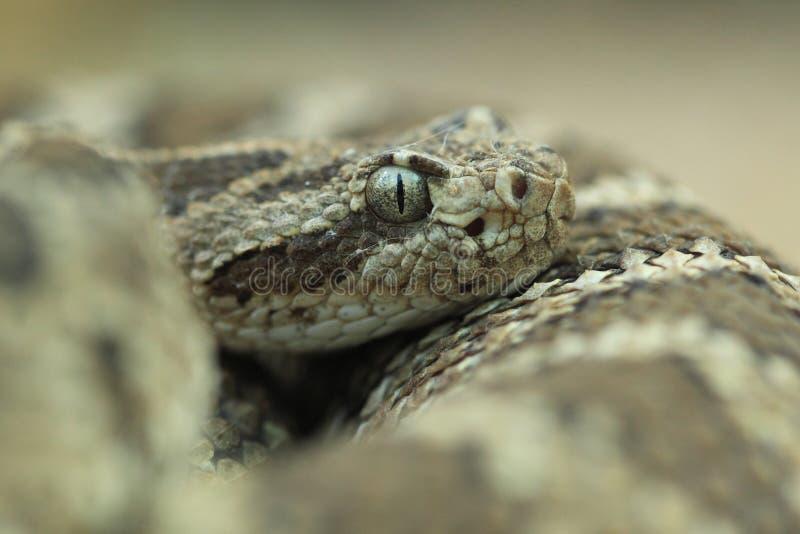 Lower California Rattlesnake Stock Photography