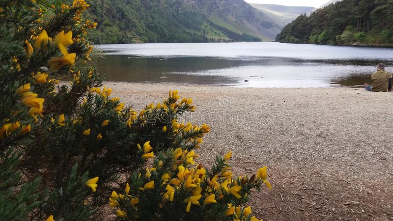 Lower lake between little yellow flowers in Wicklow Mountain royalty free stock photo