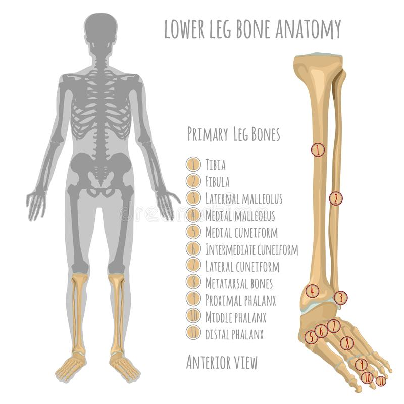 Lower leg bone anatomy stock vector. Illustration of backbone ...