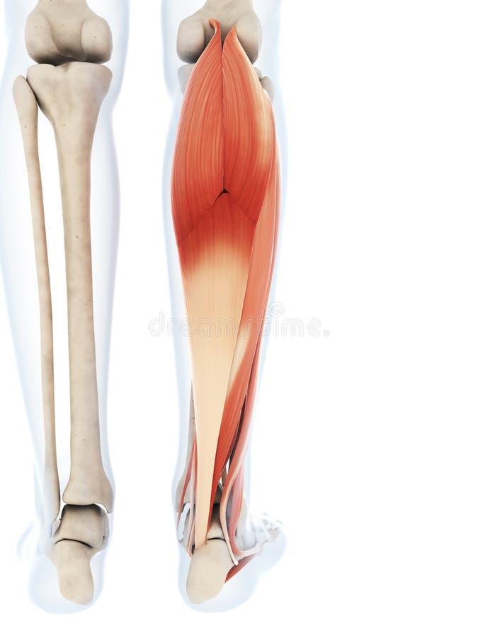 The lower leg muscles vector illustration