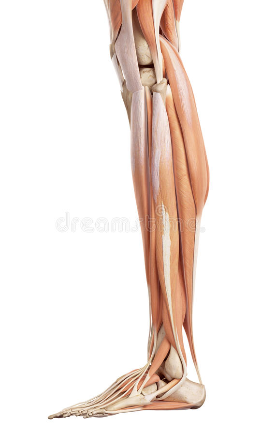 The lower leg muscles. Medical accurate illustration of the lower leg muscles vector illustration