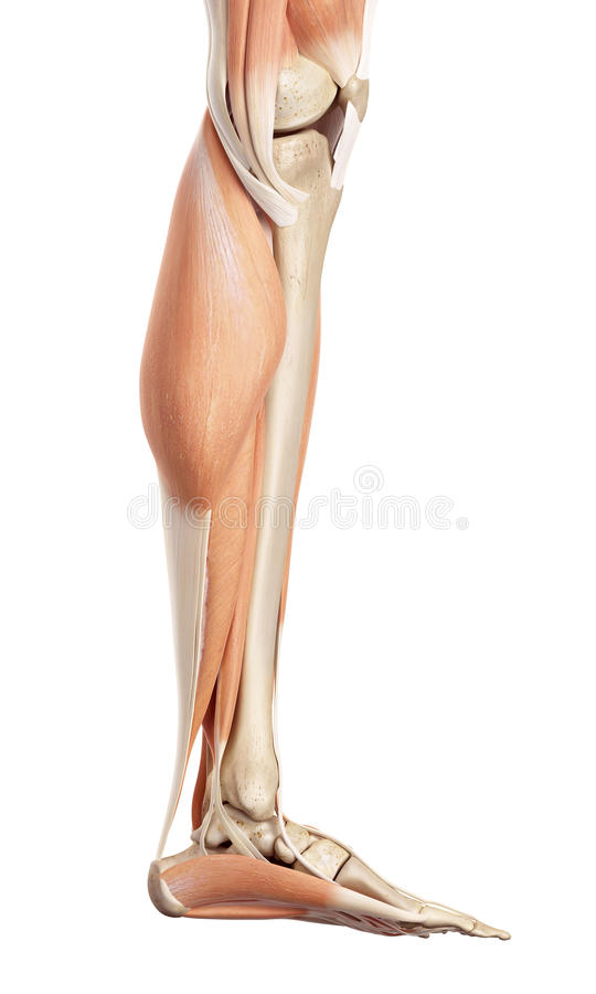The lower leg muscles. Medical accurate illustration of the lower leg muscles royalty free illustration