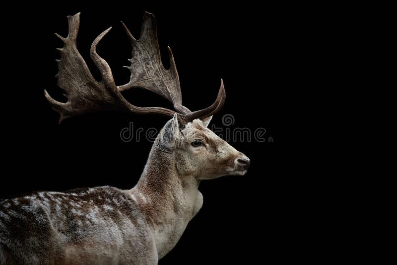 Close-up of fallow deer isolated on black. Close-up side view of male fallow deer (Dama dama) with big antlers isolated on black background. Wild stock photos