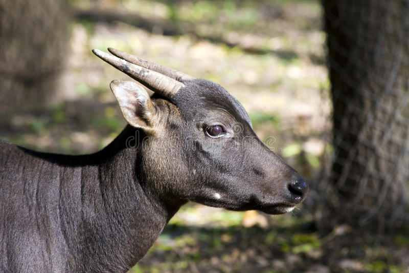 Download Lowland Anoa (Bubalus Depressicornis) Stock Photo - Image: 22867876