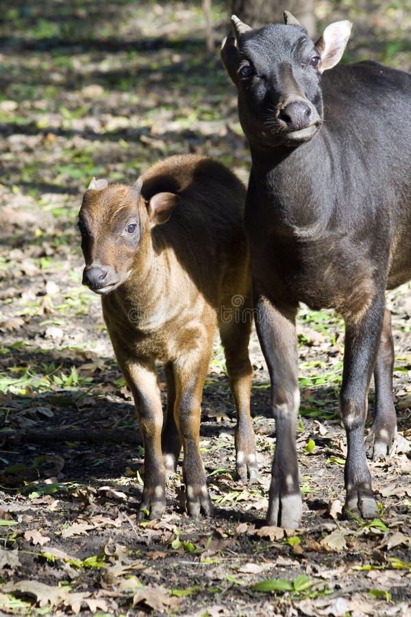 Download Lowland Anoa (Bubalus Depressicornis) Stock Image - Image: 22867911