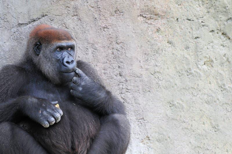 Lowland gorilla stock photography