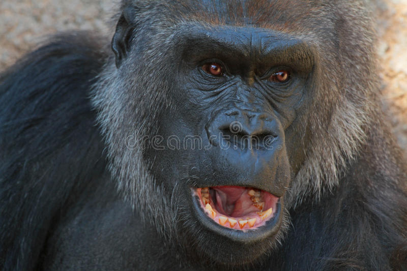 Lowland Gorilla. Close Up Detail of Expressive African Ape With Open Mouth stock images