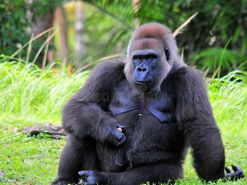 Lowland Gorilla In a Zoo royalty free stock photography