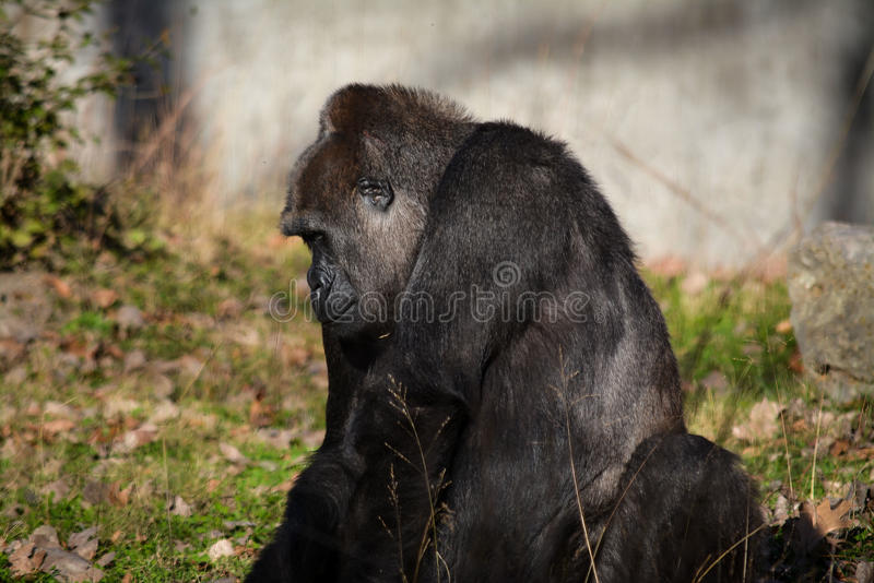 Lowland Gorrilla. Lowland gorilla primate mammal black coat wildlife nature sad stock image