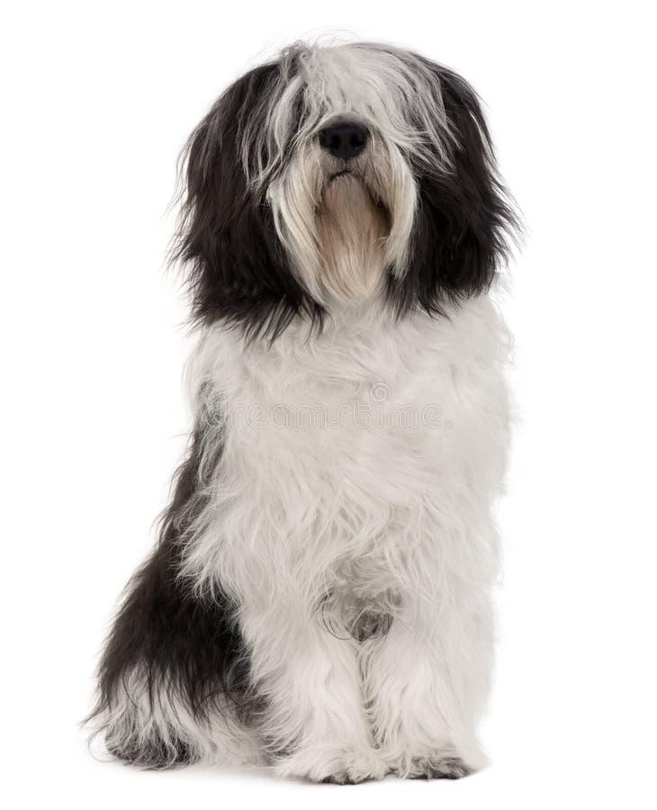 lowland polerad sheepdogsitting fotografering för bildbyråer