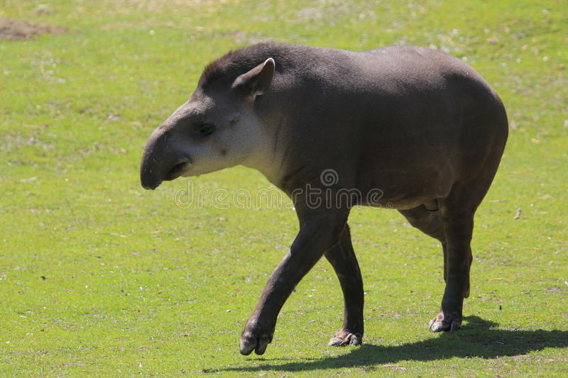Download Lowland tapir stock image. Image of mammal, grass, adult - 27721361