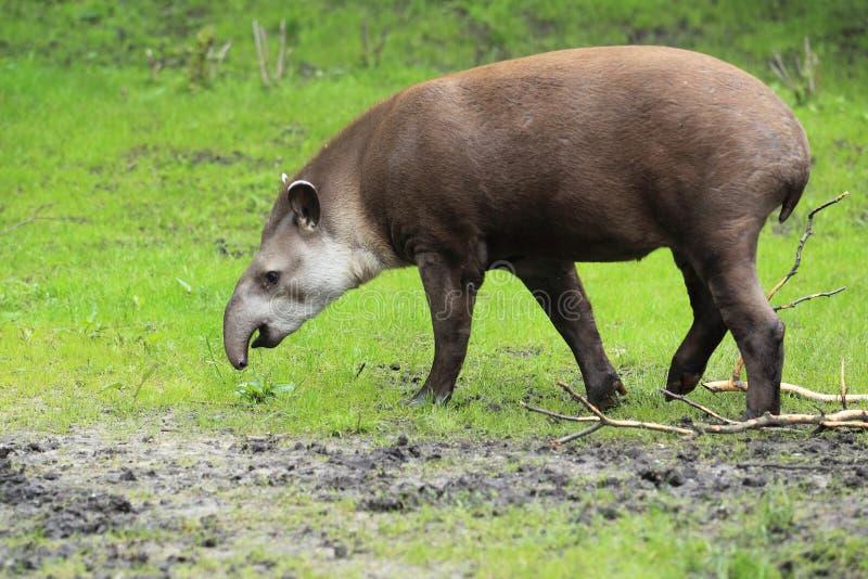Lowland tapir stock image