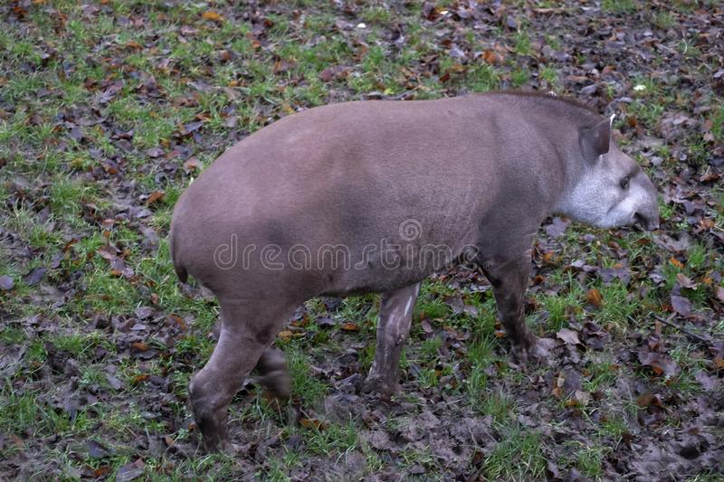 Lowland tapir in de omhulling, Chester Zoo stock afbeelding