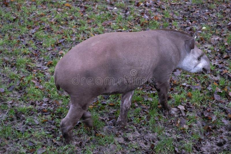Lowland tapir nel suo recinto, Chester Zoo immagine stock