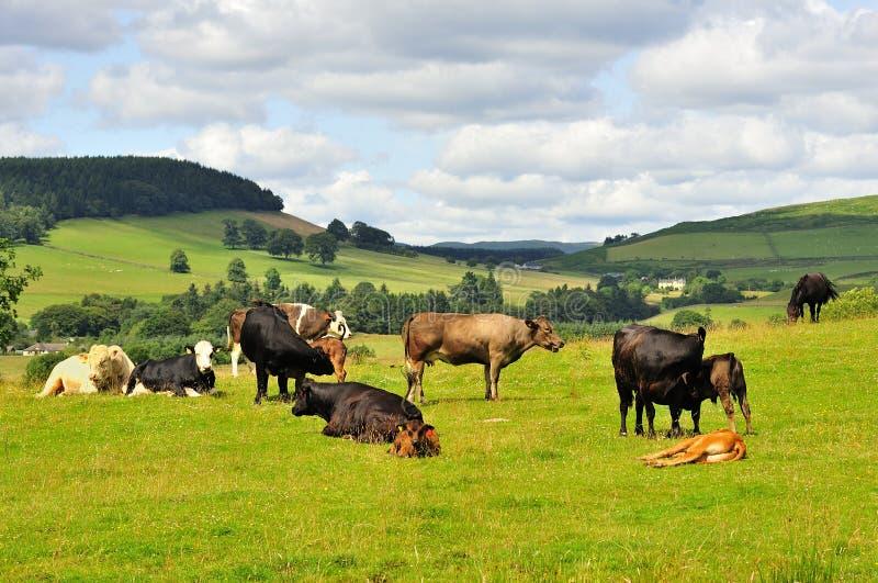 Download Lowlands Cattle, Moffat, Scotland Stock Image - Image of grazing, bovine: 23875513