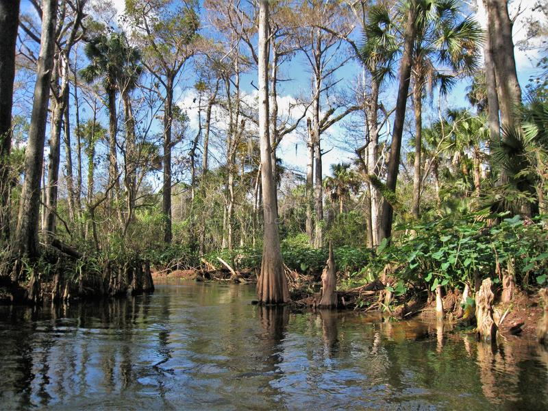 Loxahatchee-Fluss-Zypresse-Baum lizenzfreie stockbilder
