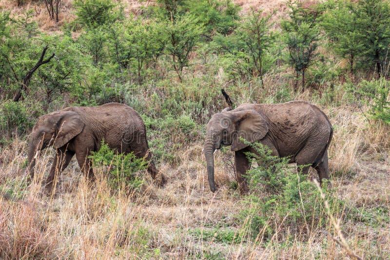 Loxodonta africana africano dell'elefante del cespuglio fotografia stock