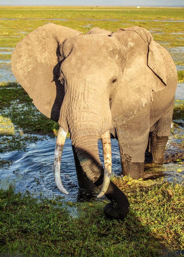 Loxodonta africana africano dell'elefante del cespuglio nell'erba bagnata della palude/lago basso Incontro vicino durante il safa fotografia stock