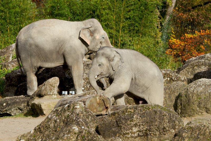 Loxodonta Africana de dois elefantes africanos no jardim zoológico imagens de stock royalty free
