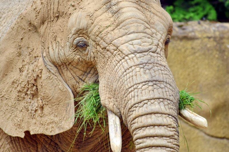 Loxodonta Africana del elefante africano que come el primer de la hierba foto de archivo libre de regalías