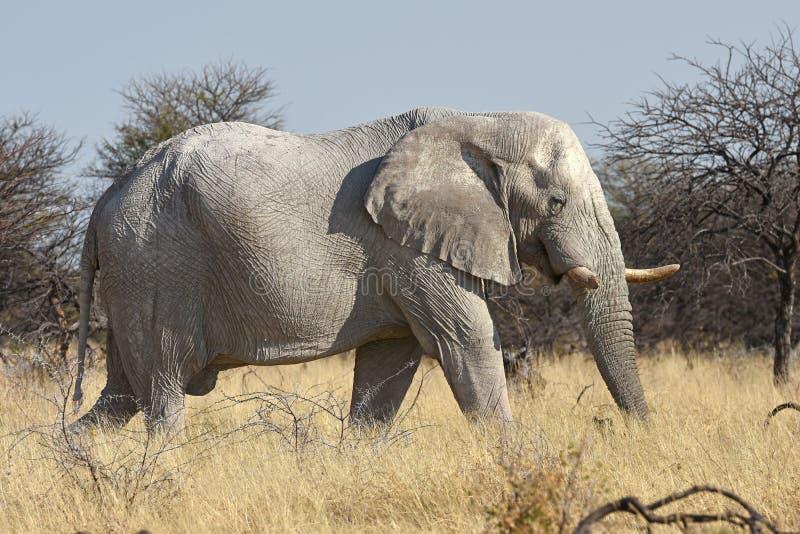 Loxodonta africana dell'elefante africano nel parco nazionale di Etosha fotografia stock libera da diritti