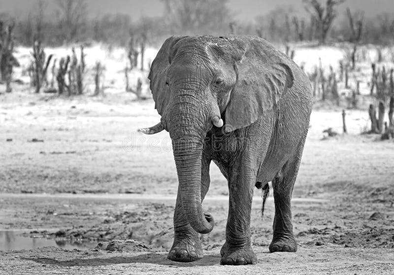 Loxodonta d'éléphant dans noir et blanc sur les plaines de Hwange image libre de droits
