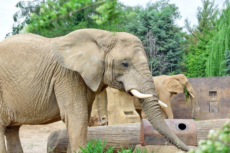 Loxodonta de couples d'éléphant africain images stock