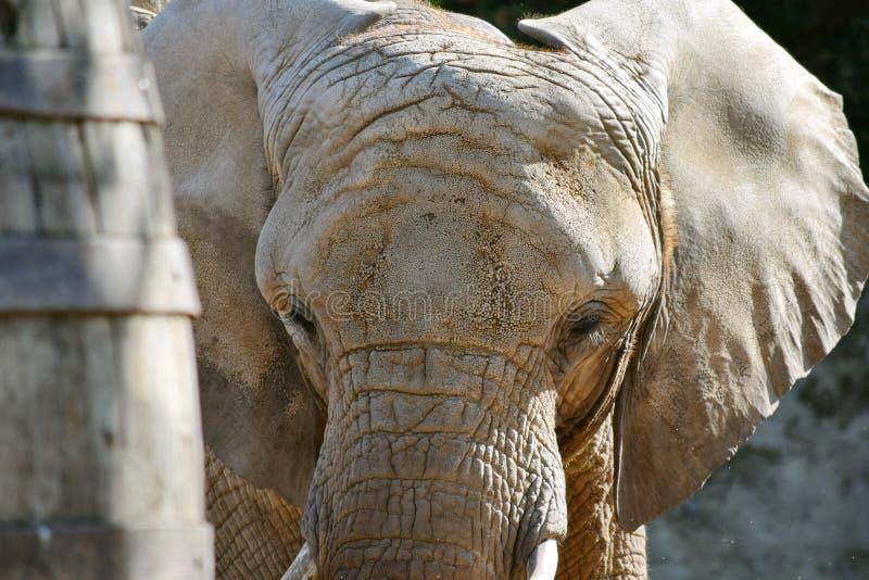 Loxodonta principal Africana del primer del elefante africano imagen de archivo libre de regalías