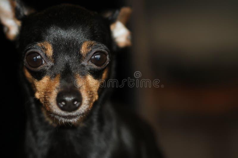 Loyal, courageux, fortement dépendant du propriétaire du Pinscher miniature fortement développé photos libres de droits
