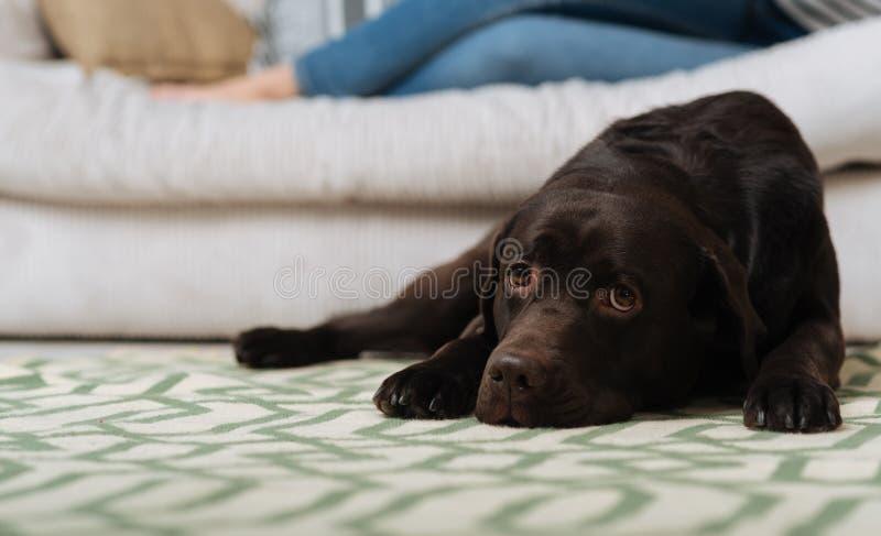 Loyal Labrador che resta vicino alla sua padrona immagini stock
